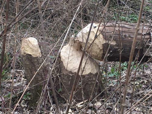 Tronc d'arbre rongé par les castors